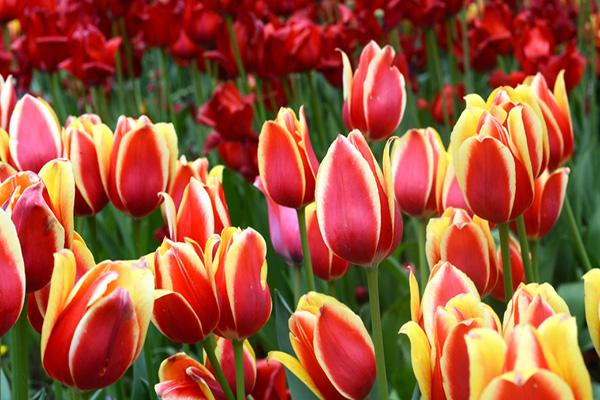 Nhung Anh Dep Hoa Tulip Dep Nhat The Gioi